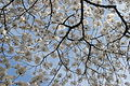 Cherry blossoms - Flickr - Al Jazeera English (13).jpg