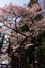 Cherry blossoms at Atago Shrine.jpg