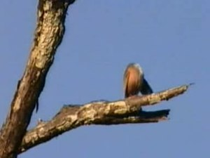 Dosiero:Chestnut-tailed Starling.ogv