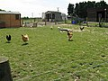 Chickens and Geese at East Wolves Farm - geograph.org.uk - 1318775.jpg