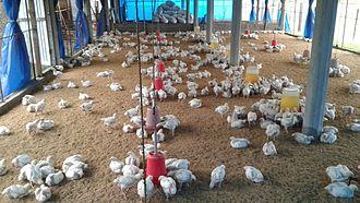 Shivasatakshi Municipality - Poultry farming in Shivasatakshi municipality