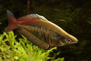 Männchen von Chilatherina fasciata