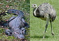 Chinese alligator and rhea.jpg