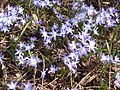 Chionodoxa luciliae var. tmolusi in Jardin des Plantes 02.jpg