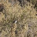 Chipping sparrow in Hawley wetland at Seedakadee NWR 2 (14837986862).jpg