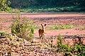 Chital or Spotted deer at Chitwan National Park (3).jpg