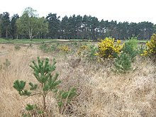 Chobham Common - geograph.org.uk - 158274.jpg