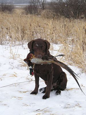 Retriever - Labrador Retriever with pheasant
