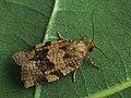 Choristoneura diversana - Листовёртка дымчатая (41256931532).jpg