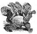 Chou-fleur dur de Hollande Vilmorin-Andrieux 1883.png