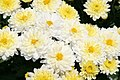 Chrysanthemum Padre 3zz.jpg