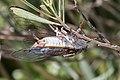 Cicada orni-Cigale-20130626.jpg