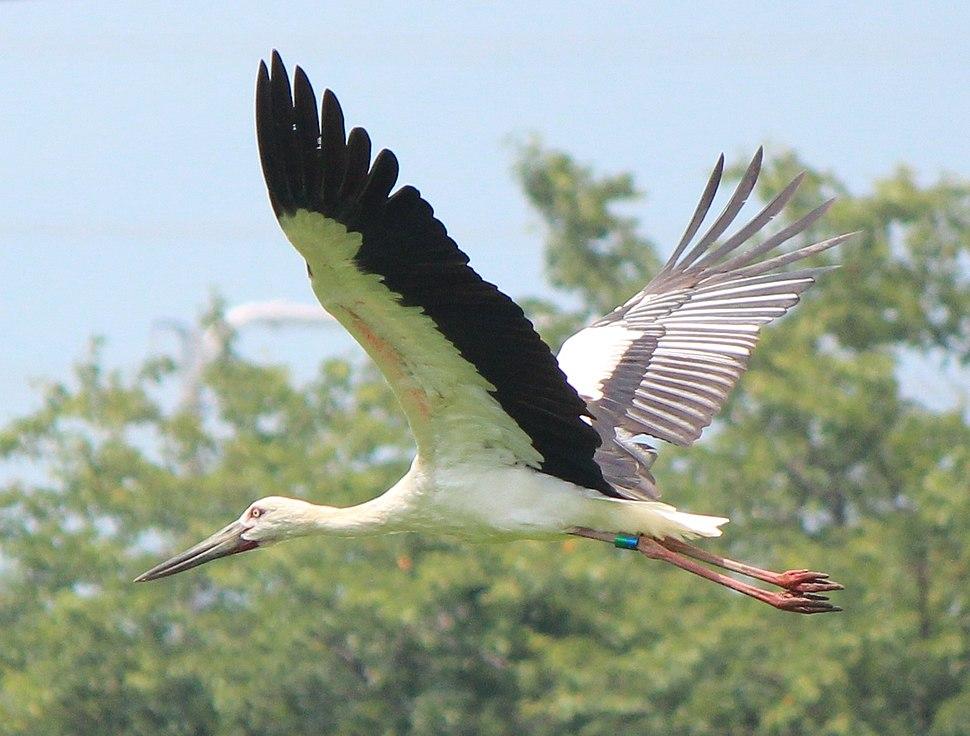 Ciconia boyciana in flight