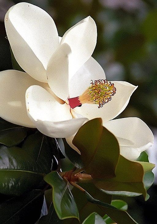 "Cincinnati – Spring Grove Cemetery & Arboretum ""Southern Magnolia Flower"" (27843057640)"
