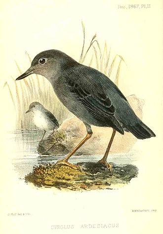 American dipper - Subspecies C. m. ardesiacus, lithograph by Joseph Wolf, 1867