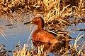 Cinnamon teal on Seedskadee National Wildlife Refuge (40885607315).jpg