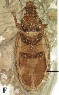 <i>Cionocoleus</i> Genus of beetles