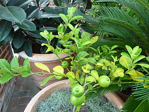 Citrus limetta - 'Millsweet' cultivar of limetta in growth.