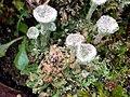 Cladonia pocillum 111495050.jpg
