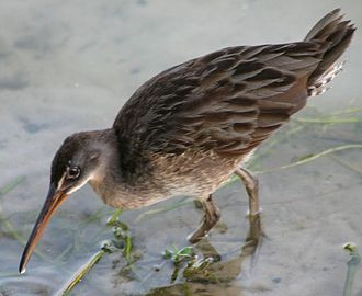 Clapper rail - Clapper rail in Lakeland, Florida.