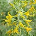 Cleome arborea-IMG 4406.jpg