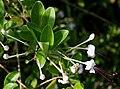 Clerodendrum inerme (Seaside Clerodendrum) in Hyderabad, AP W IMG 8994.jpg