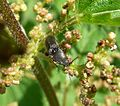 Click Beetle. Elateridae. - Flickr - gailhampshire (1).jpg