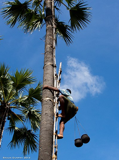 Climbing the Toddy palm trees (10808835284).jpg