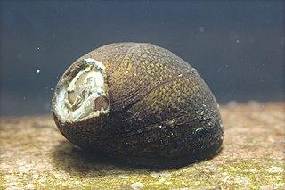 <i>Clithon retropictum</i> species of mollusc