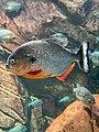 Close-up of a piranha at Georgia Aquarium.jpg