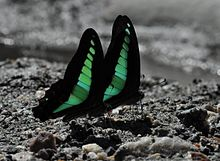 Close wing position of Male pair of Graphium sarpedon Linnaeus, 1758 – Common Bluebottle WLB DSC 01 4 8.jpg