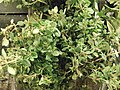 Closeup of lemon thyme.jpg