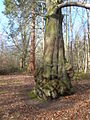 Clumber Park - Giant Trees - geograph.org.uk - 674568.jpg