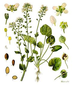 meaning of cochlearia