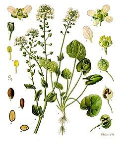 Cochlearia officinalis - Köhler–s Medizinal-Pflanzen-186.jpg