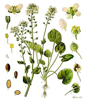 Echtes Löffelkraut (Cochlearia officinalis), Illustration