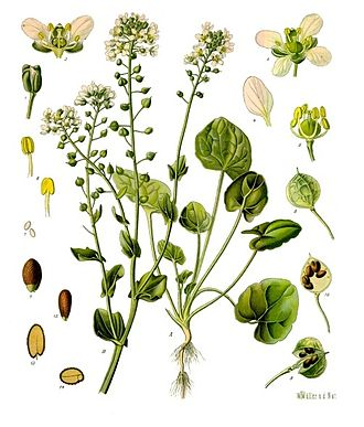 Cochlearia - Image: Cochlearia officinalis Köhler–s Medizinal Pflanzen 186