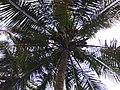 Coconuts in coconut tree.jpg