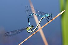 http://upload.wikimedia.org/wikipedia/commons/thumb/5/54/Coenagrion_puella_Paarung.jpg/218px-Coenagrion_puella_Paarung.jpg