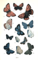 Colemans British Butterflies Plate XIII.png