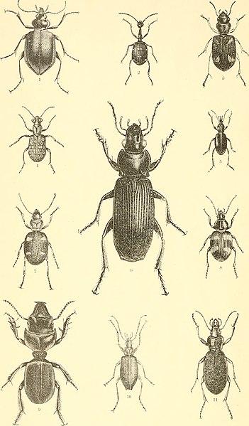 File:Coleoptera ((1884?)) (20474290508).jpg