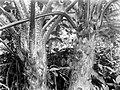 Collectie Nationaal Museum van Wereldculturen TM-10021130 Boomvarenstammen op Saba Saba -Nederlandse Antillen fotograaf niet bekend.jpg