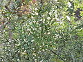 Colletia paradoxa3.jpg