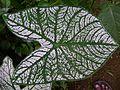 Colocasia variety leaf.jpg