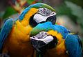 Colorful Parrots Couple.jpg