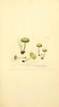 Coloured Figures of English Fungi or Mushrooms - t. 162.png