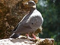 Columba albitorques -Ethiopia-8