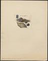 Columba leuconota - 1820-1860 - Print - Iconographia Zoologica - Special Collections University of Amsterdam - UBA01 IZ15600157.tif