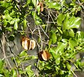 Combretum apiculatum, loof en vrugte, Phakama, a.jpg