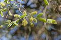 Combretum molle, loof en bloeisels, Jan Celliers Park.jpg